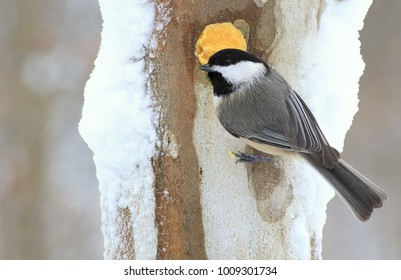 A Black- capped Chickadee at winter suet.