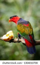 Black capped lory bird on tree branch