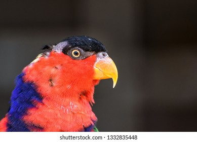 black capped lory in the jungle in New Guinea