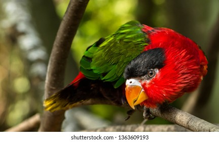 Black Capped Lory (Lorius lory)