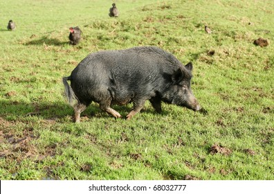 Black Captain Cook pig in a field. Captain Cookers are a native New Zealand species of pig