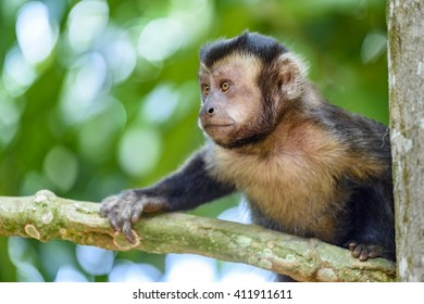 Black capuchin monkey between trees and forest vegetation of Rio de Janeiro