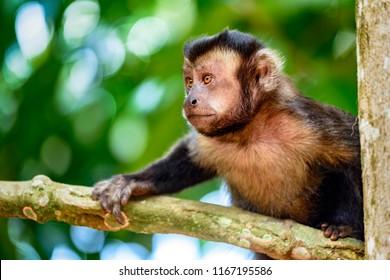 Black capuchin monkey on the trees of the Brazilian rain forest