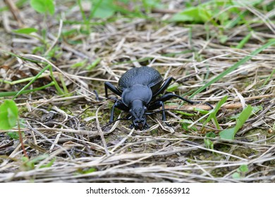 Black Carabid in the grass