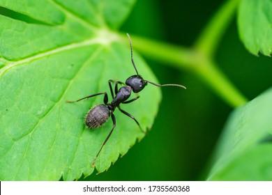 Black Carpenter Ant on Leaf