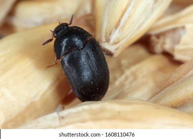 The black carpet beetle Attagenus unicolor Dermestidae family common home pest.