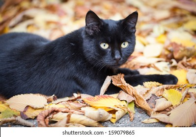 Black cat in autumn leaves close up photo. Animal portrait
