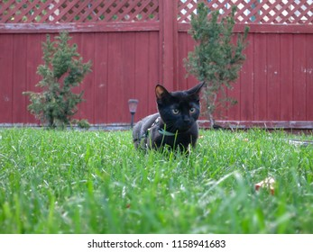 Black cat in a back yard on a harness and cable.