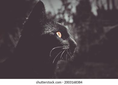 schwarze Katze, Nahaufnahme des Kopfes
