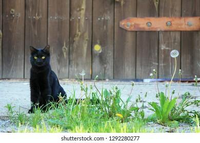 Black cat and dandelion