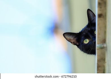 black cat is a domestic cat with black fur that may be a mixed or specific breed. The Cat   recognizes 22 cat breeds that can come with solid black coats. The Bombay breed is exclusively black.