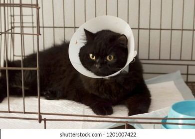 black cat with elizabethan collar