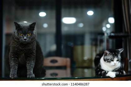 Black cat with golden eyes portrait in studio