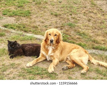 Black cat and Golden Retriever dog lying on grass in sunny summer day.  Dog play with cat.