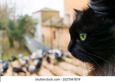 A black cat with green eyes looks at the pigeons. Closeup focused on the cat