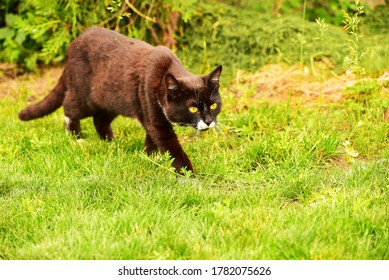 Black cat in the green grass. Black and white cat in the green grass. Cat in the garden. Hunting cat