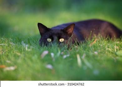 Black cat hiding in the green grass