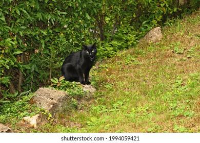 Black cat hunting in a meadow. - Shutterstock ID 1994059421