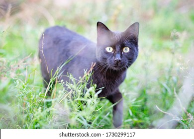 Black Cat hunting outdoors. Cute cat hiding in green grass looking at the camera.