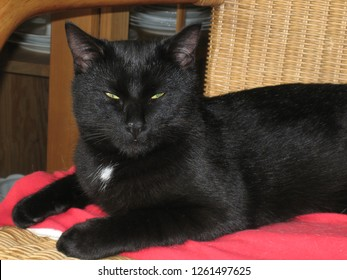 Black cat in the living room is resting on a rattan armchair while watching the course of things with grandeur. The cat is lying on a red blanket and facing the camera with eyes half open.