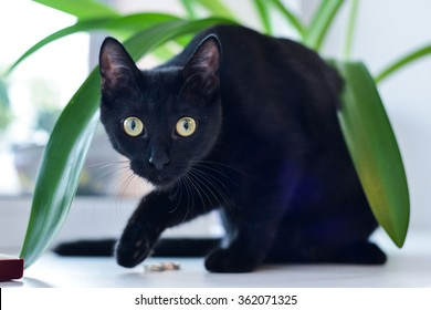 black cat looking at the camera