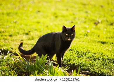 Black Cat looking for food