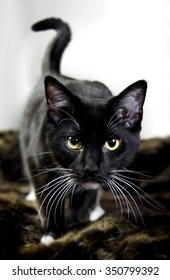 Black cat looking into the camera with his tail curled against a white background