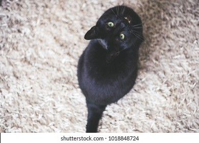 Black cat looking up on white carpet and show his teeth. Top view.