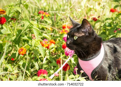 Black cat in pink harness among flowers in fall garden