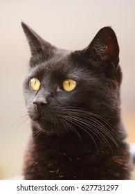 black cat portrait close up