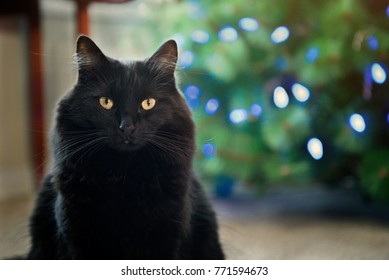 A black cat posing in front of a Christmas tree