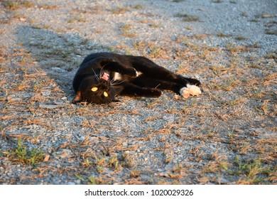 black cat cat puss pussy cat moggy
