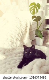 Black cat relaxing on knitted merino plaid, enjoying warm and soft super chunky yarn blanket, cozy home and hygge trendy concept, monstera plant on background, warm toned
