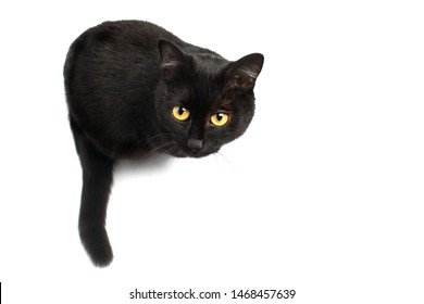 Black Cat sitting and looking up at the camera isolated on white