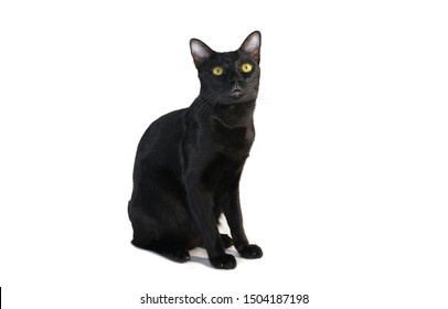 The Black cat sitting on the floor then looking to top side view ,isolated on white background.
