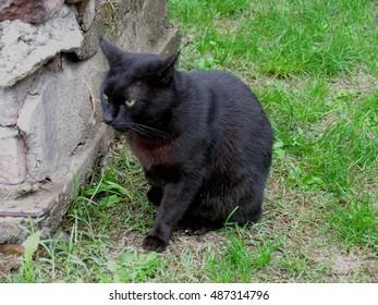 Black cat sitting on grass.