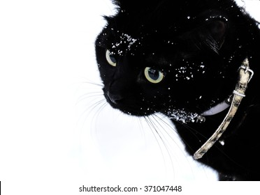 Black cat walks on the snow on the harness
