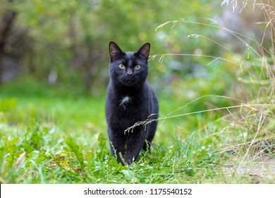 the black cat walks in the park