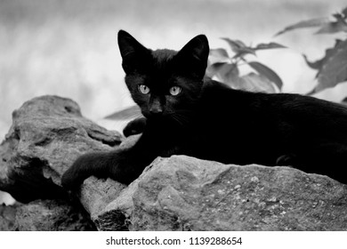 Black Cat Black & White