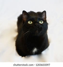 Black Cat White Background