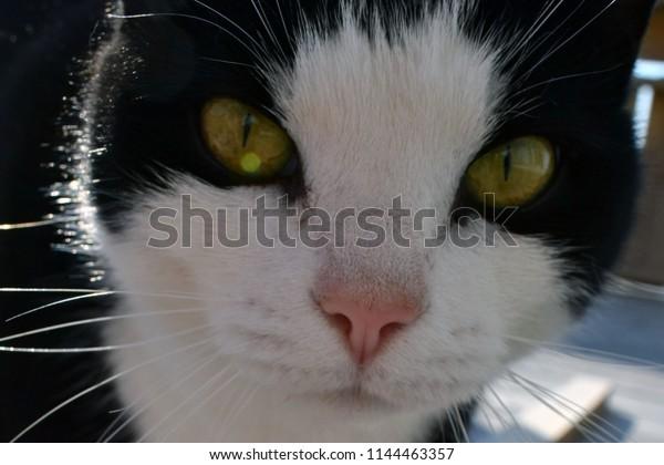 Black Cat White Spots Muzzle Pet Stock Photo (Edit Now