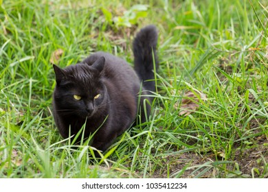 Black cat with yellow eyes hunts in green grass