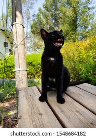 Black cat. Young cat with outraged physiognomy. Animal with an open mouth shows off its huge fangs its on the wood table in the flowering garden
