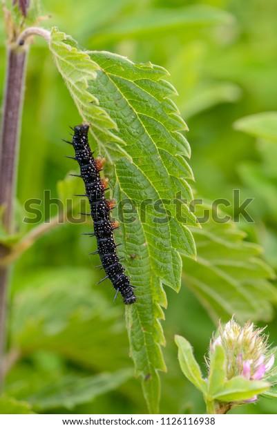 pictures-of-black-spiny-caterpillars-blue-tube-bondage