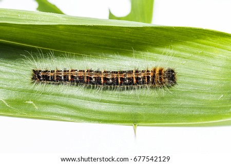 black caterpillar common duffer butterfly discophota stock photo
