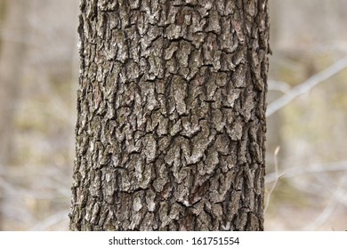 Black Cherry Bark
