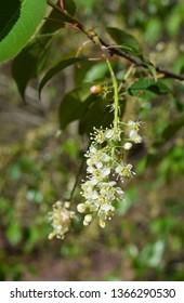 Black cherry flowers, Prunus serotina, in Mississippi
