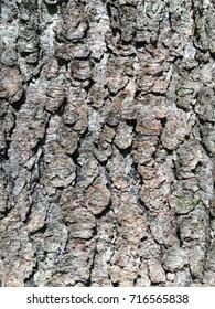 Black cherry tree bark