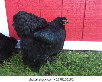 Cochin Chicken Images, Stock Photos & Vectors | Shutterstock