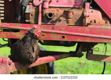 Black chicken on tractor at the farm